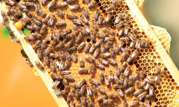 Ужили ме тук и тук... Къде жилото на пчелата е най-болезнено?