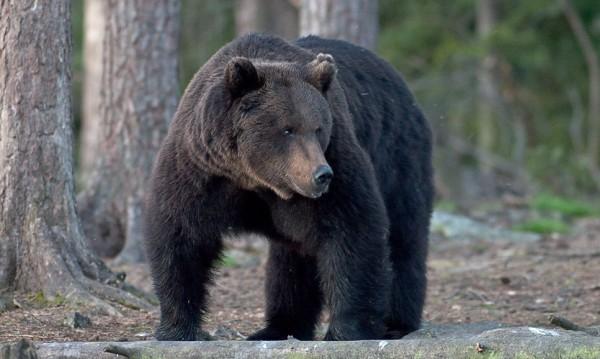 С хватки от каратето: Японец обърна мечка в бяг