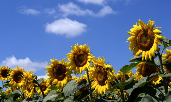 Жега и слънце и днес. Максималните температури до 39°
