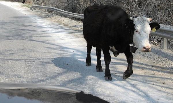 Какво ли няма на пътя! Крави на Околовръстно!?