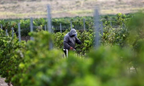 Мъж бра грозде в лозя в Бяла, собственикът го гръмна