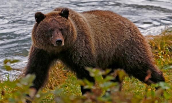 Мечките в Аляска – вегетарианци заради промените в климата