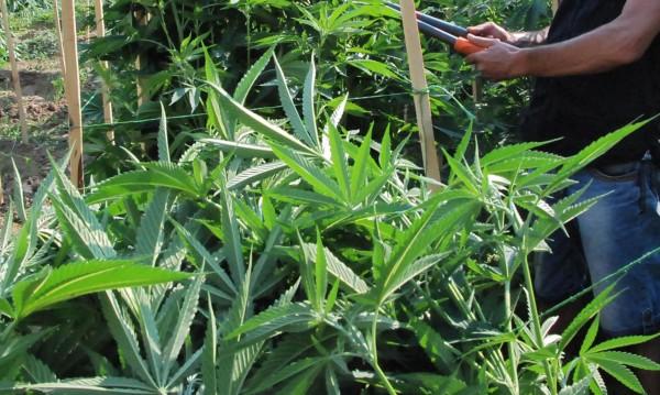 Над 1000 дка са засети легално с канабис у нас