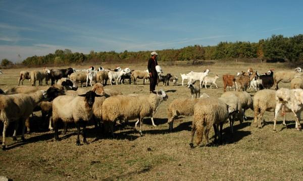 Пастирът пуска говедата в нивата, глобяват собственика