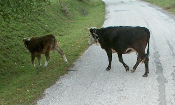 Бик нападна и счупи ребра на пастир в Разградско