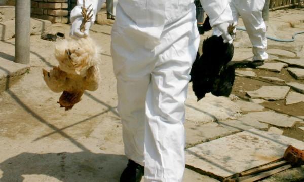 Заради фипронил: 18 000 кокошки под ножа