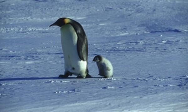 """Комични и трагични: Пингвините в """"Походът на императорите"""""""