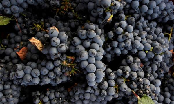 Двама задигнаха 2 т грозде, искали гратис вино за зимата