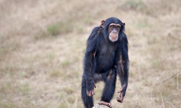 """Знаете ли, че... Шимпанзета играят """"камък, ножица, хартия""""?"""