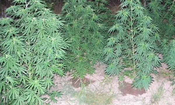 МВР задържа двама, докато прибирали реколта от канабис