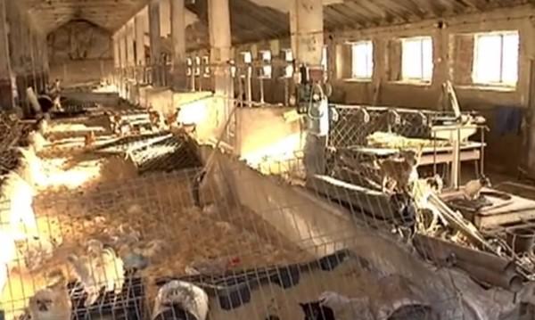 Като филм на ужасите: Стотици кучета в клетки с... кравите