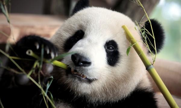 Панда в зоопарк с лош навик – ходи назад от стрес