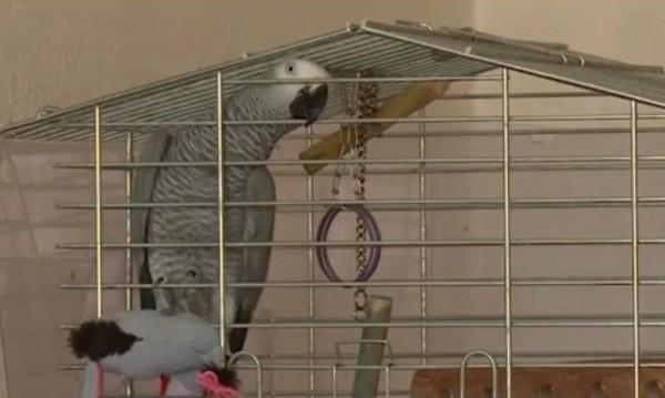 Папагалът Джаро – приказливият любимец на г-жа Лалова