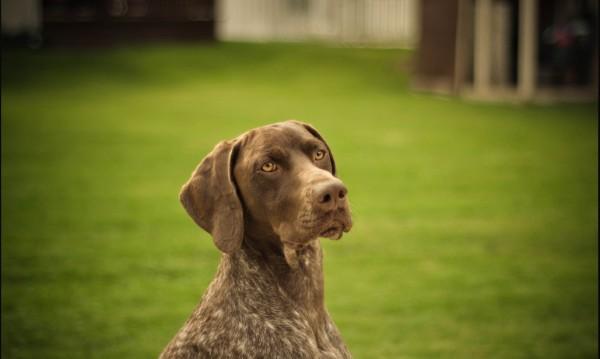 Полицията разследва смъртта на 4 ловни кучета в Лом