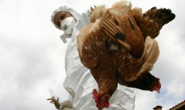 Сливенското село Глушник – огнище на птичи грип