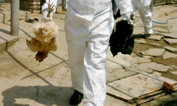 БАБХ: Унищожени са близо 90 000 птици заради птичия грип