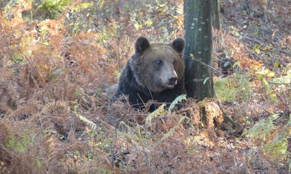 Поставиха GPS на 200-килограмовия мечок Цветан