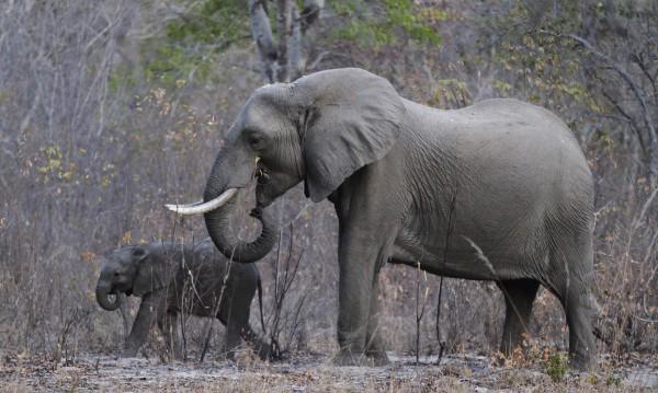 Тръмп разрешава вноса на трофеи от убити слонове!?
