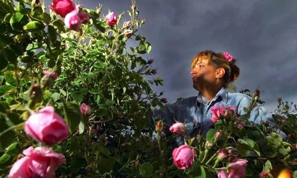 Сладко и локум с родна роза... забранени в Китай!