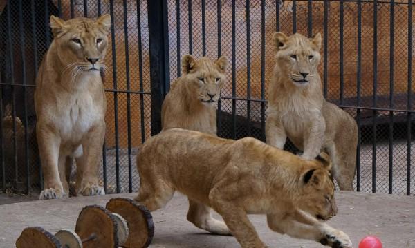 Лъвове с рахит, слепи... лоши условия в зоопарковете ни!