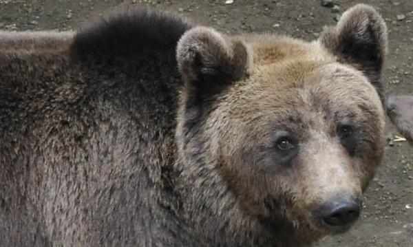 Бракониери убиха една от шестте мечки в Централен Балкан