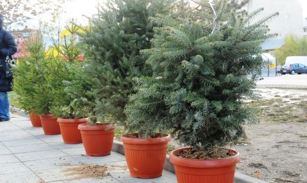 Жива елха за Коледа – по-скъпа, но и по-търсена