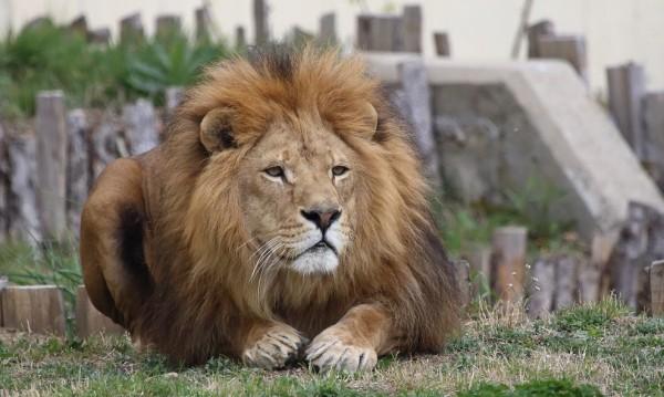 Разградският лъв Асен на лечение в Столичния зоопарк