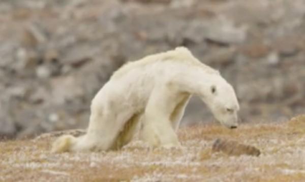 Как изглежда умираща от глад полярна мечка? Вижте!