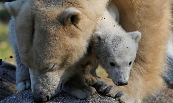 Три полярни меченца се родиха в зоопарк