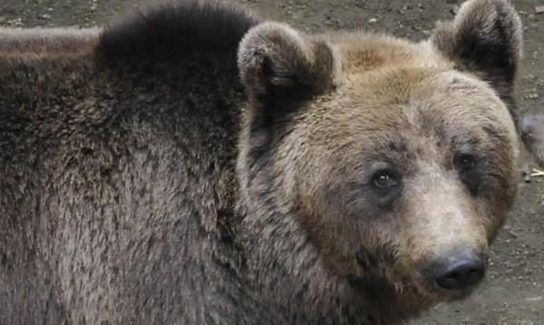 Гладна мечка лиши от сън жителите на Стойките