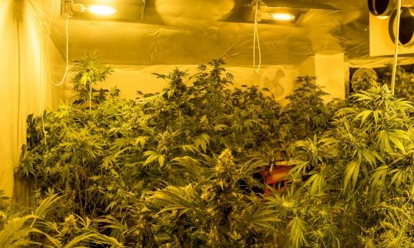 Панчарево: Таван превърнат в оранжерия за марихуана