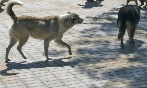 За 15 минути, 5 отровени улични кучета в Каварна