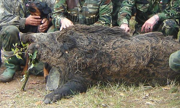 Радост за ловците: Улесниха лова на глигани