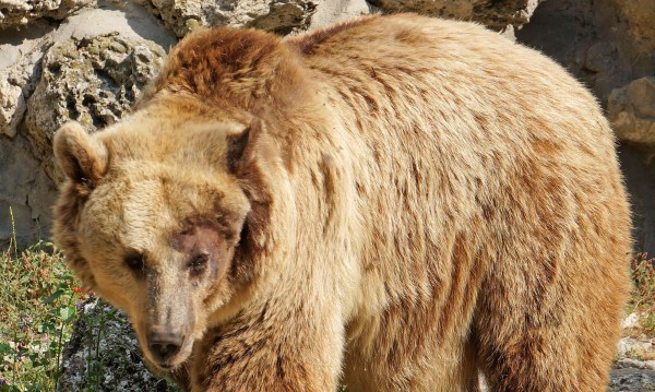 Мъжките мечки в Смолянско будуват заради топлото време