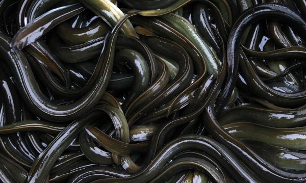 310 кг контрабандни змиорки на летището в Мадрид