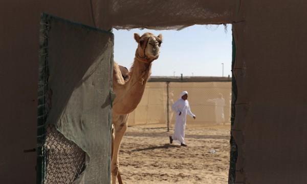 Млякото от камила - става за шоколади, а и за бебета