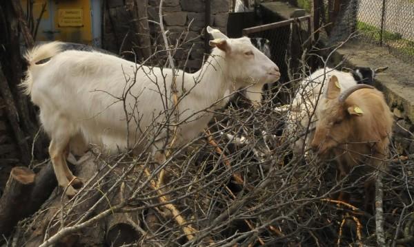 Вълци нападат домашните животни в Ардинско