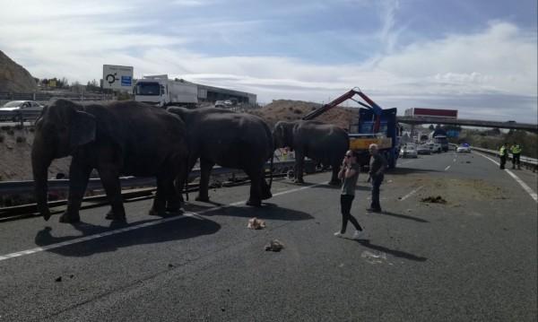 Слонове избягаха и блокираха магистрала в Испания