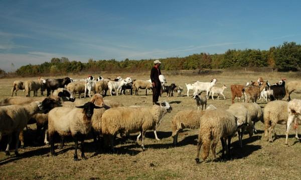 Заплатата на овчар до 1500 лв., ще внасяме от Виетнам!