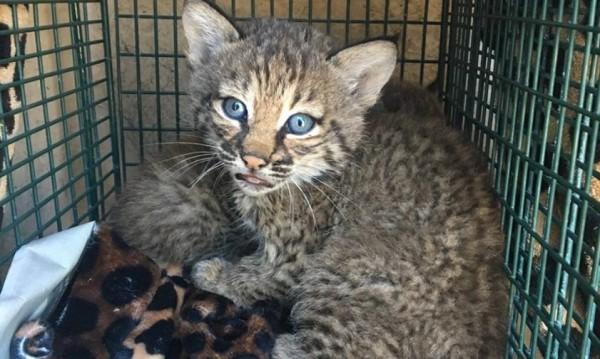Злочесто осиновяване: Не ми били котки, най ми били... рисове