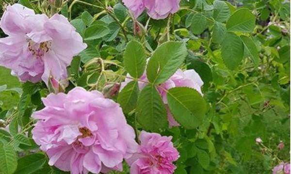Провал: Рози има, розоберачи няма! А реколтата много добра