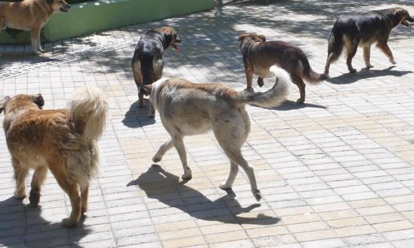 Укриват се, нападат, хапят... Глутница кучета вилнее из Панчарево