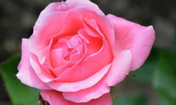 Розовият цвят – 2 лв./кг. Прозводители чакат фалити