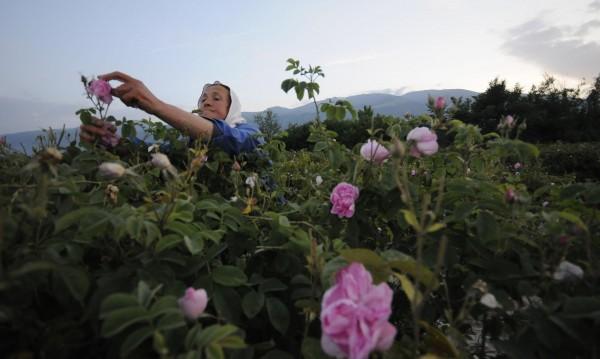 Розите - хем родили много, хем добре и сега струват евтино