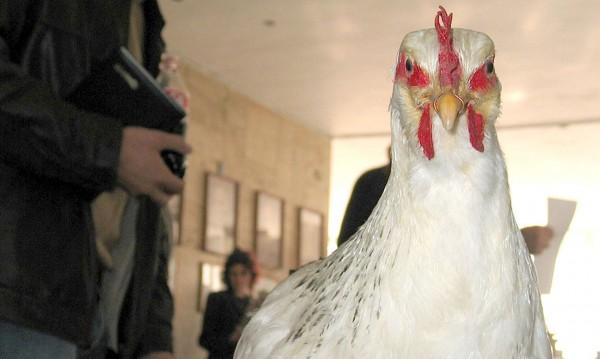 Заради птичи грип: Умъртвяват птици в Добричко