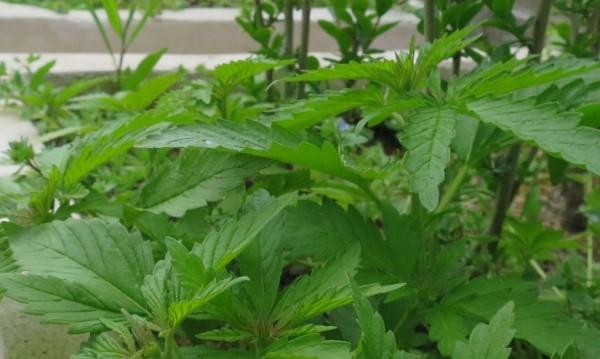 Полицията в Сливен арестува двама с 3 кг марихуана