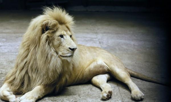 В търсене на свободата: Лъвове, тигри и ягуар избягаха от зоопарк