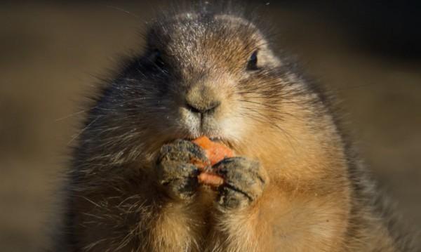 Може ли да повярвате: Морковите вредни за... зайци!