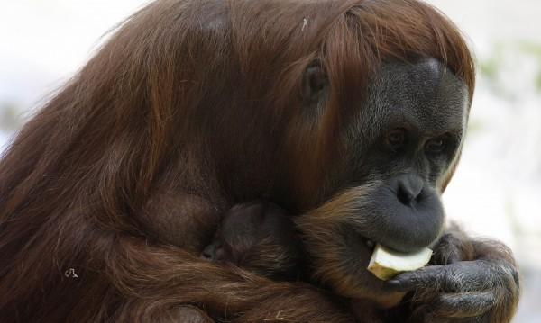 Почина най-възрастният орангутан в света
