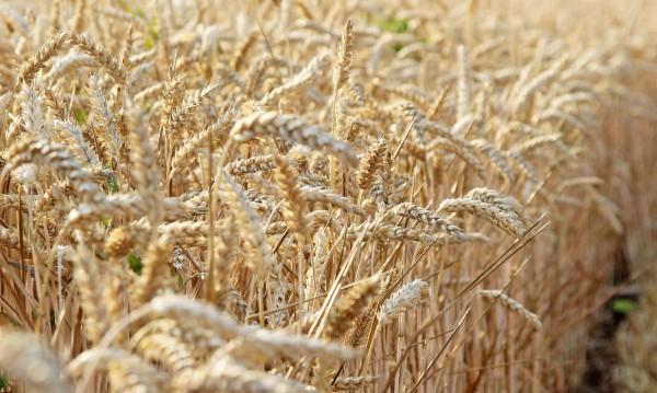 Сирия ще внася пшеница и от България